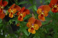 庭の三色菫