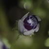 庭の瑠璃唐草