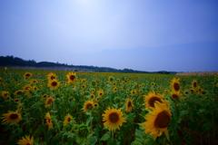 夏空の下で咲き誇る向日葵