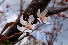 季節外れの桜