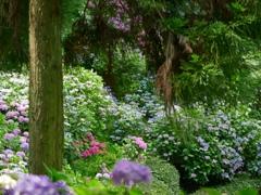 木立の中の紫陽花