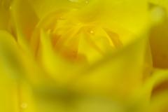 秋バラ-1