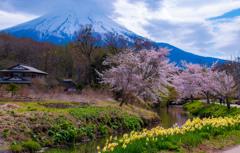 一富士 二桜 三水仙