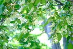 白雲木のカーテン