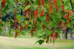 イイギリの赤い実