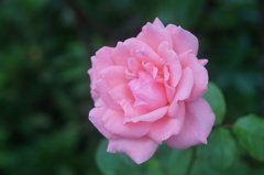 Pink roses are beautiful.