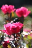 バラ咲輝く