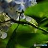 紫陽花と水滴 2