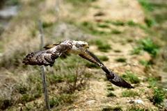 カンムリワシ幼鳥1