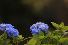 紫陽花〜♪♪