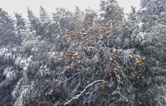 ぼた雪と柿の木