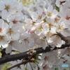 2018年春 桜その7