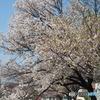 2018年春 桜その1