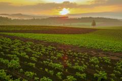 朝霧のジャガイモ畑