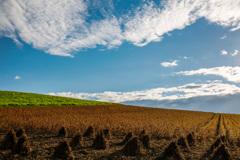 手刈りの豆畑