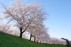大榑川の桜
