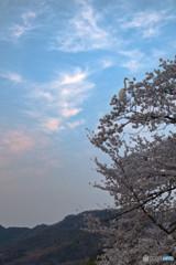 浄土庭園と白鷺(桜)