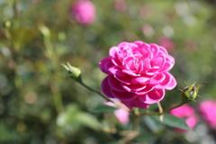 薔薇です。名前は分かりません。