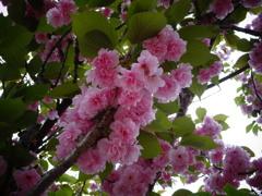 造幣局 桜の通り抜け造幣局