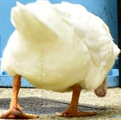 Ass of duck ~プリプリ~