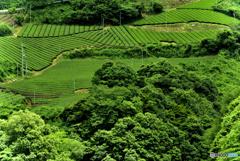 つきがせの茶畑