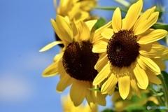 sunflower ~夏のはじまり~