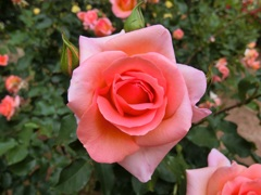 薔薇、咲き誇る
