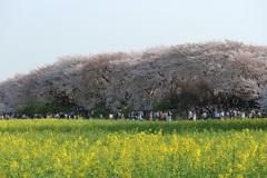 権現堂の桜2