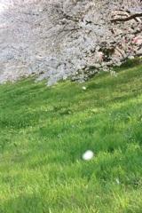 権現堂の桜1