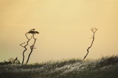 ヤセでヒョロヒョロの木