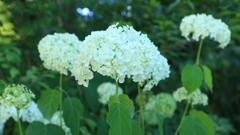 見つけた白い紫陽花
