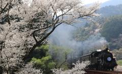 笹間渡の桜