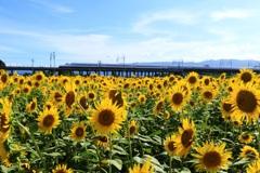 ひまわり畑を通過する東海道新幹線