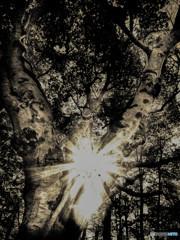 Fagus crenata (森林のブナ)