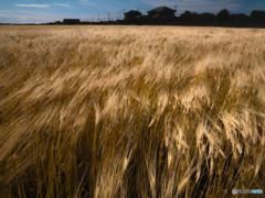 麦畑と風2