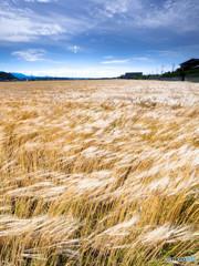 麦畑と風1