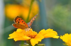 ベニシジミと黄色い花