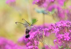 オオスカシバとピンクの花