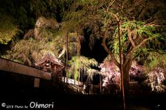 2018枝垂れ桜のライトアップ
