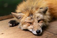 Sleeping Fox 2