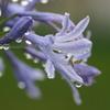 雨の日のアガパンサス