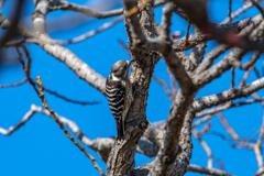 第二回 手賀沼 野鳥撮影 啄木鳥(コゲラ?)