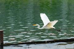 白鷺の流し撮り