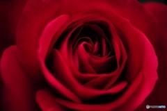 色っぽくバラ