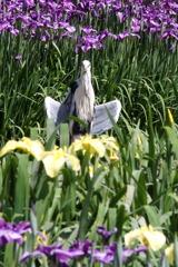 アオサギさんのお花見1