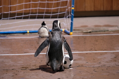 ペンギンのPK