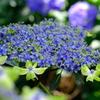 青と緑の紫陽花