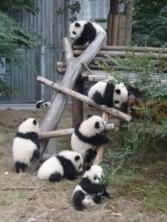 パンダの成る樹