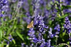 ラベンダー?とシジミ蝶