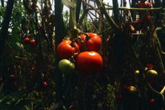 ジャンクズーム5-トマト